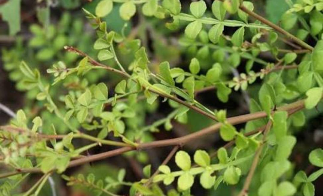 Plantacción: Chintok (Krugiodendron ferreum)