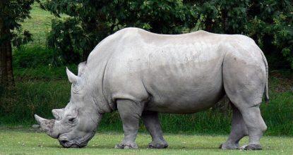 rinocerante-blanco