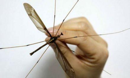 Descubren en China mosquito más grande del mundo, con 11 cm de envergadura