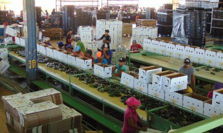 Empresa Valle del Sur abastece con hortalizas mercado de EU