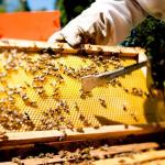 Yucatán, sin luna de miel: producción del dulce registra caída catastrófica