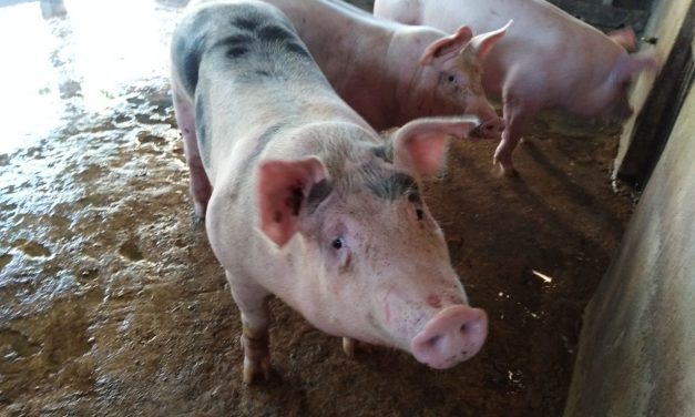Granja de cerdos en Homún 'envenenará' 40% de agua de Mérida: investigador