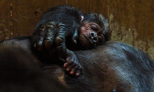 Amor de mamá y bebé gorilas en peligro de extinción sacude internet (video)