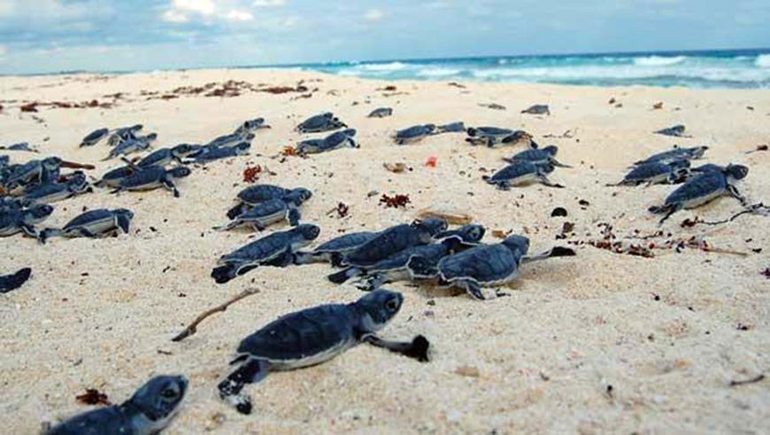 Canta Rubén Albarrán por tortugas marinas y santuario del Caribe Mexicano