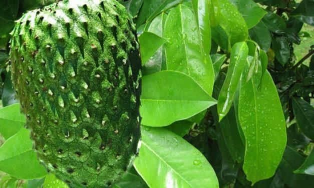 Plantacción: Guanábana (Annona Muricata)