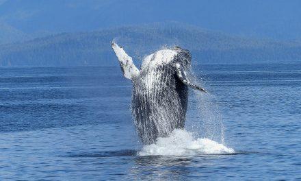 La sorprendente explosión de natalidad de las ballenas jorobadas que estaban a punto de extinguirse en la Antártica