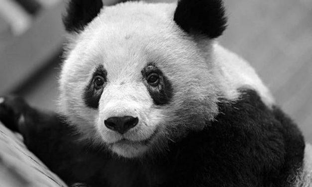 Los pandas están perdiendo sus manchas en los ojos