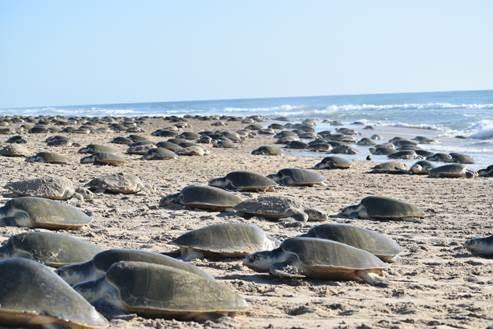 Visitantes milenarios: arribazón extraordinaria de tortugas lora