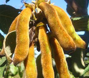 Plantacción – Mucuna Pruriens y Parkinson
