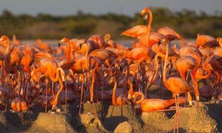 Nacen los primeros polluelos de  flamenco rosado de 2018 en Ría Lagartos
