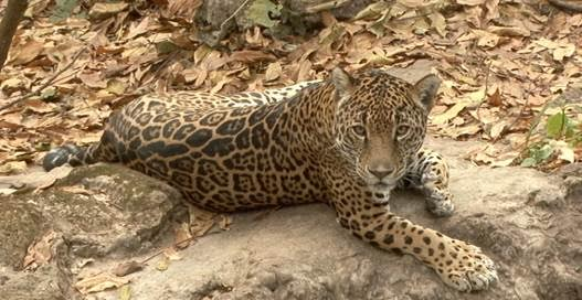 Censan recuperación del jaguar en México