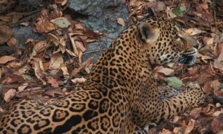 Amenaza destrucción de hábitat a mamíferos en Península de Yucatán