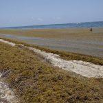 Sargazo se adelantó a turistas en Caribe Mexicano