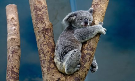 El genoma del koala revela cómo logra sobrevivir a una dieta tóxica