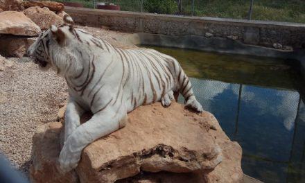 Aseguran a tigres 'asesinos' en rancho de Baca