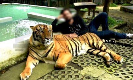 Dueño de tigres en Baca: de 'ceniciento' a fugitivo