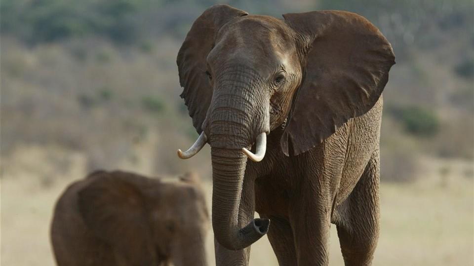 Los genes que protegen del cáncer a los elefantes