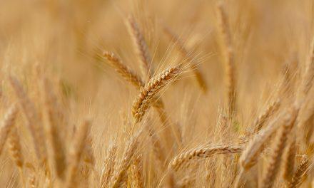 El arroz y el trigo son cada vez menos nutritivos