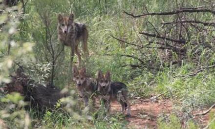 Siete Lobos Mexicanos regresan a la vida libre