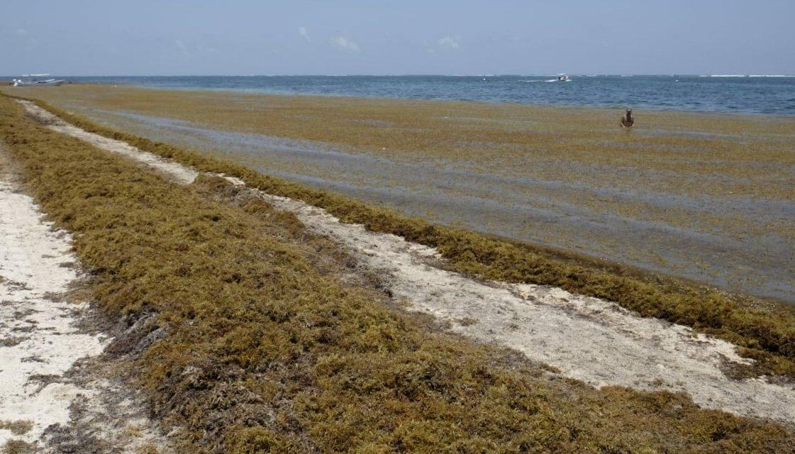 QRoo tira millones de pesos por sargazo; Yucatán lo usa para generar energía (video)