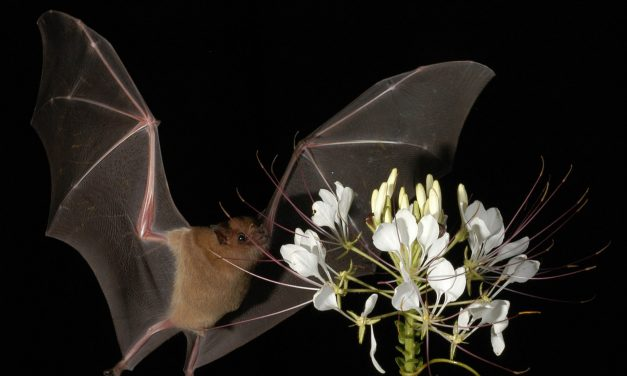 Perseguidos como signo del mal, los murciélagos hacen mucho bien