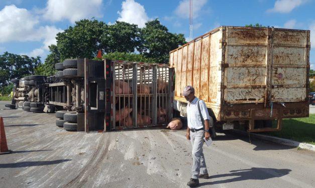 Aplastados y heridos decenas de cerdos en periférico Mérida (video)