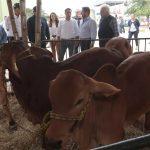 Casi mil ejemplares en Expo ganadera de Feria Yucatán en X'matkuil