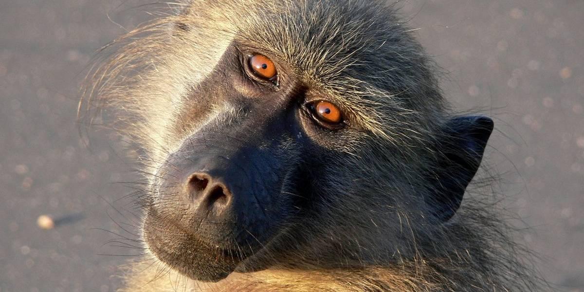 Dos monos reciben un trasplante de corazón de un cerdo y sobreviven