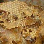 Yucatán: mejora producción de miel, pero no supera trago amargo de 2020