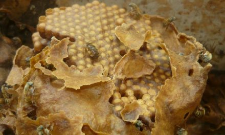 Práctica ancestral la convirtió en guardiana de abeja melipona