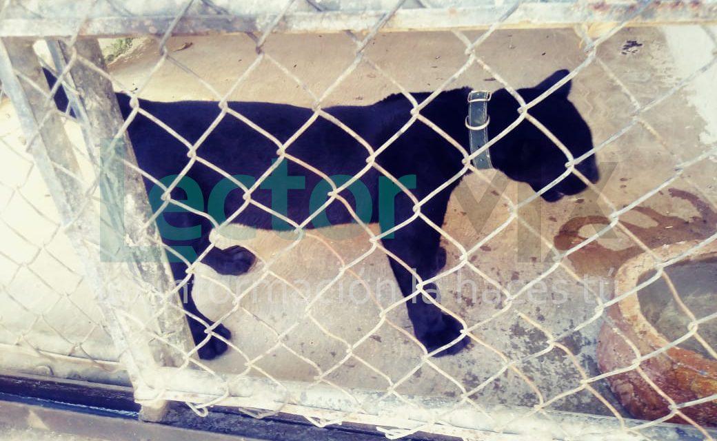 Un cachorro de jaguar negro, en medio de controversia jurídica