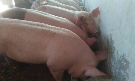 Alerta de experto por influenza relacionada con cerdos (video)