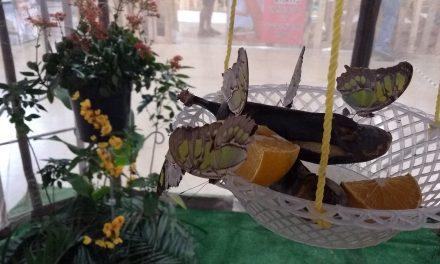 Mariposas, otras víctimas de depredadores y daños ambientales