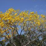 Árboles nativos, contra sobrecalentamiento y oxigenación urbana