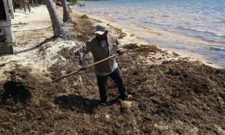 Sargazo activa alerta otra vez en Caribe Mexicano (Vídeo)