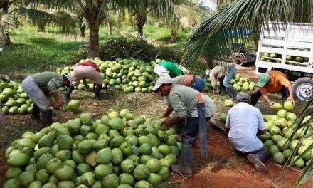 Productores y empresarios formarán red estatal de cocoteros
