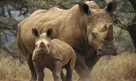 En Kenia está permitido matar a cazadores furtivos para proteger a rinocerontes