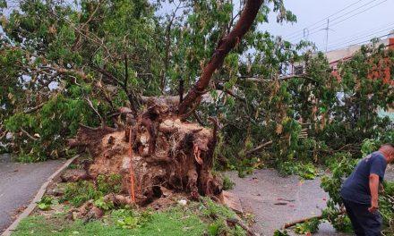 Lluvias siguen derribando árboles ornamentales en Mérida
