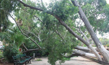 Ahora tocó a la plaza grande de Mérida: caen vetusto árbol y ramas