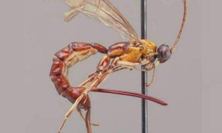 La 'avispa escorpión', el bicho que te mata desde dentro