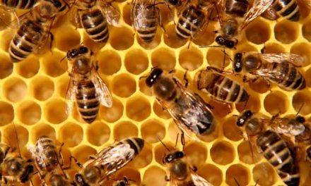 Empresarios yucatecos van en auxilio de abejas melíferas