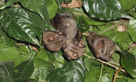 Murciélagos y nuevo coronavirus, en reflexión de experta yucateca