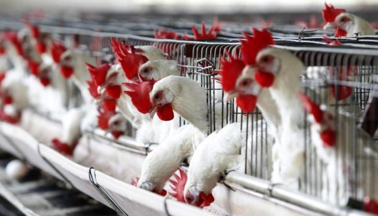 Con T-MEC Yucatán podría exportar productos avícolas a EU
