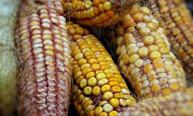 El altruismo llega al sur de Yucatán en granos de maíz y frijol