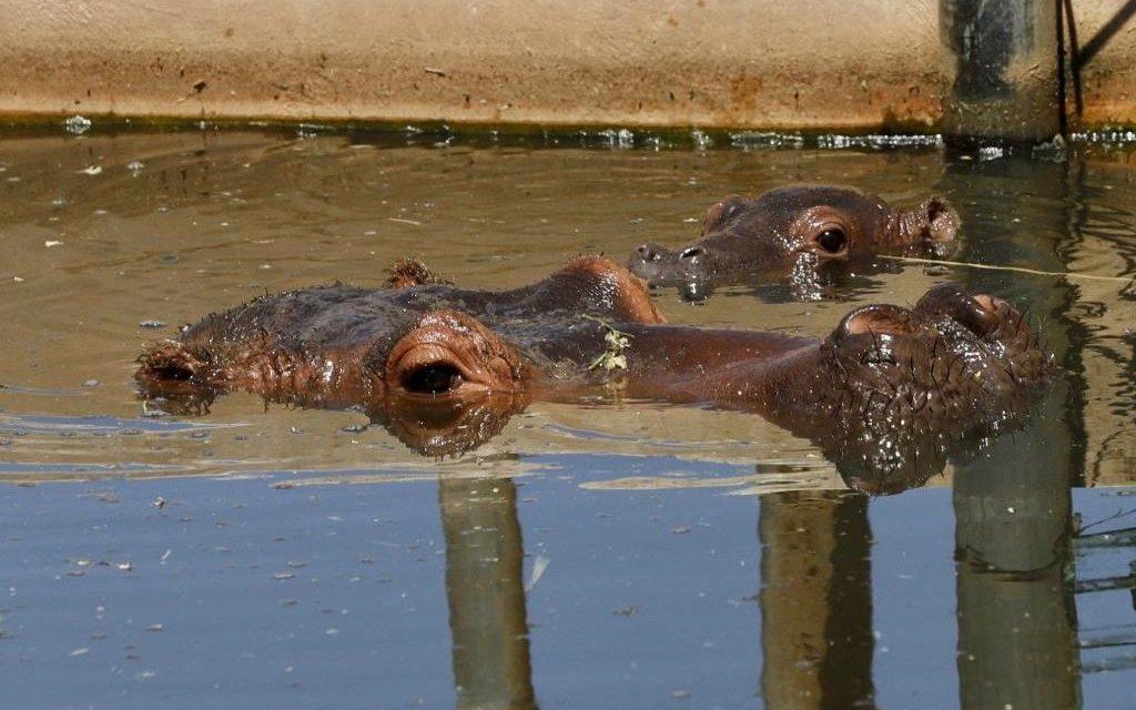 Cría de hipopótamo, nuevo habitante en Animaya