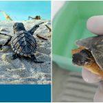 Humanos, depredadores y basura en playas atentan contra tortugas