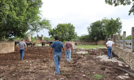 Investigan sorpresiva mortandad de reses de lidia en rancho de Motul
