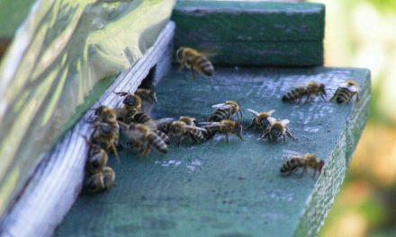 Otra amenaza para abejas: 'adulterados' desplazan miel genuina en mercados