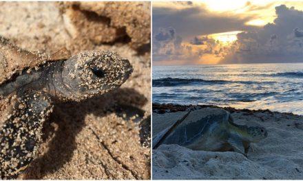 Rompe marca preservación de tortugas marinas en santuario Cozumel