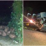Camino al sacrificio, cerdos muertos y heridos en carretera federal (Vídeo)